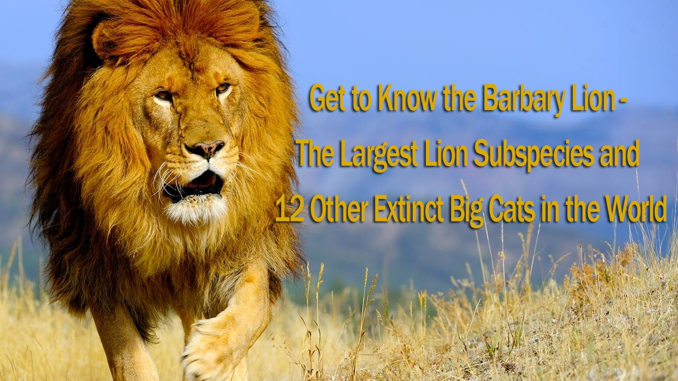 Get to Know the Barbary Lion, The Largest Lion Subspecies and 12 Other Extinct Big Cats in the World