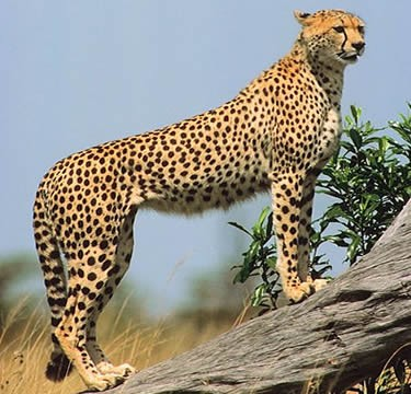 Giant Cheetah