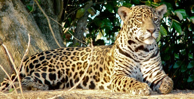 Giant Jaguar