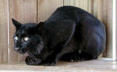 Melanistic Bobcat