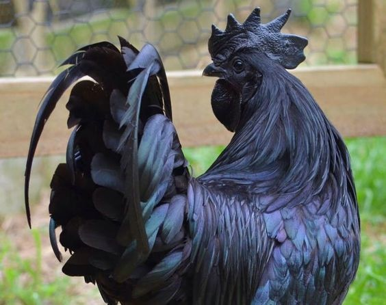 Melanistic Chicken