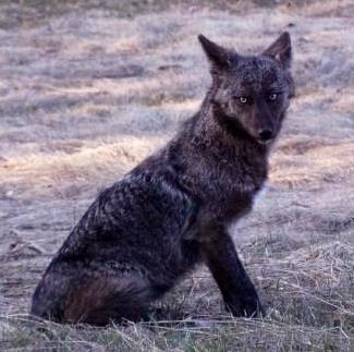 Melanistic Coyote