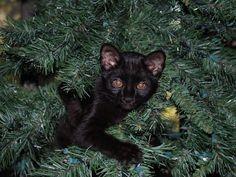 Melanistic Geoffroy's Cat