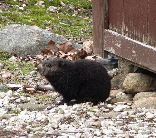 Melanistic Groundhog