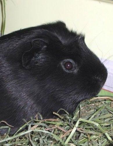 Melanistic Guinea Pigs