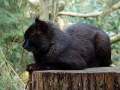 Melanistic Jungle Cat