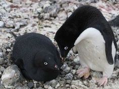 Melanistic Penguins