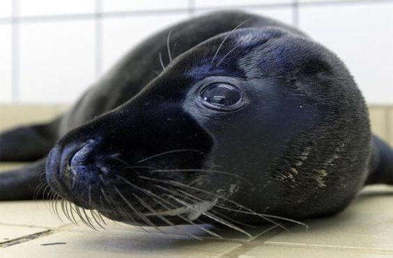 Melanistic Seal