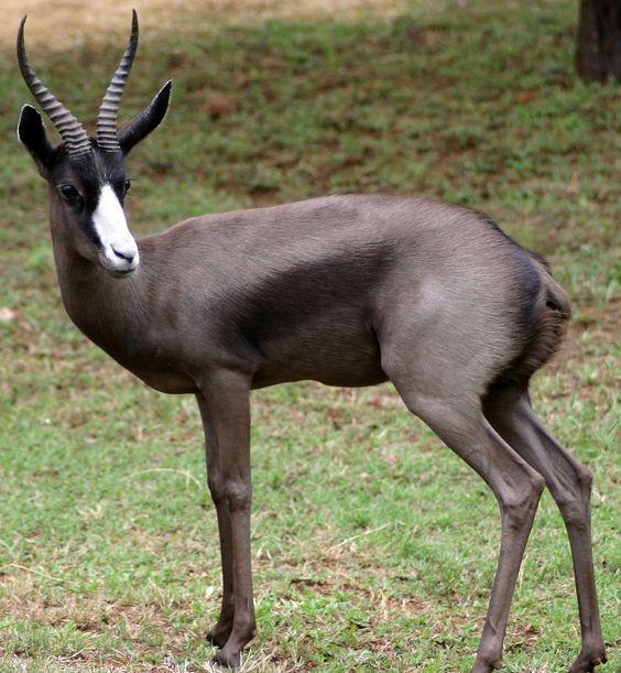 Melanistic Springbok