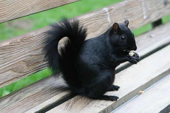 Melanistic Squirrel
