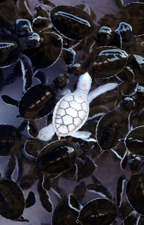 Melanistic Turtle