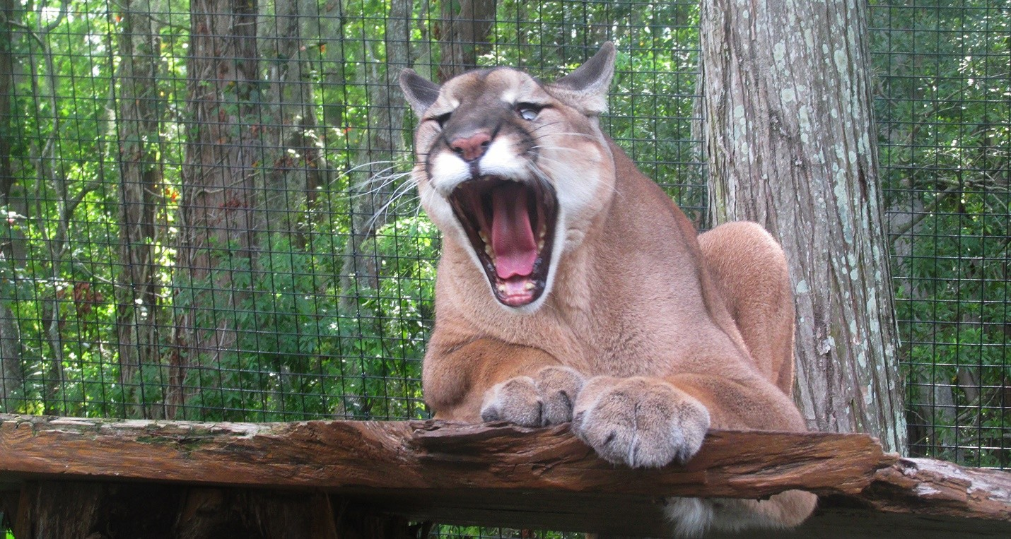 12 Alarming Facts About Florida Panthers (Animal) | My Awesome ...
